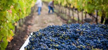 Vendemmia – Harvest – Récolte 2020